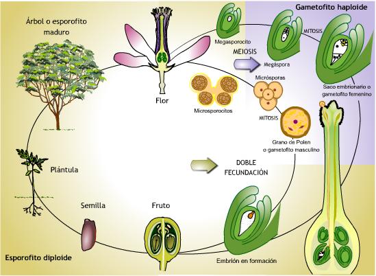 ciclo-de-vida-de-las-plantas