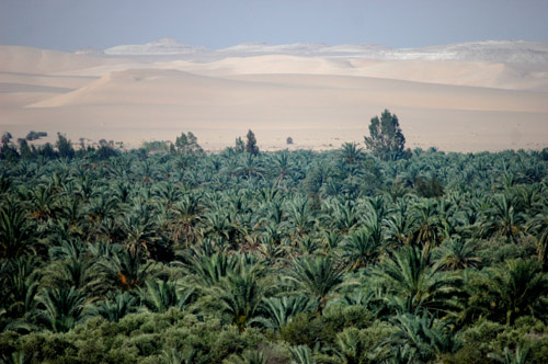 palm-trees-sahara-desert