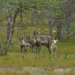 Reindeer+In+The+Woods+899042