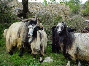 img_Project_2_goats_1