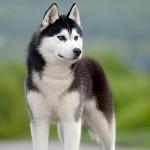 siberian-husky-dog